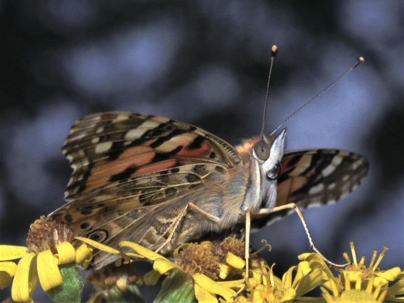 painted_lady-5bbbbad0dc5c3.jpg